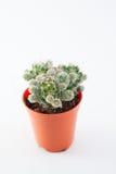 Kaktus dla ogródu Zdjęcie Royalty Free
