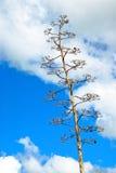 kaktus dolara srebra Obrazy Royalty Free