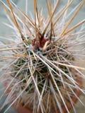 Kaktus-Dornen Lizenzfreies Stockfoto