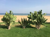 Kaktus drei auf den Ufern des Roten Meers Stockfotos