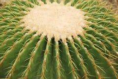 Kaktus: Echinocactus-grusonii lizenzfreie stockbilder