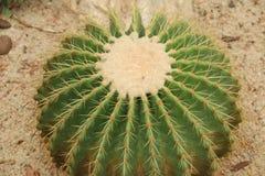 Kaktus: Echinocactus-grusonii stockfoto