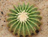 Kaktus: Echinocactus-grusonii stockbild