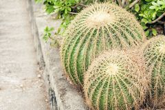 Kaktus Echinocactus Grusonii, alias goldenes Fass im Garten von Acicastello, Acitrezza, Catania, Sizilien lizenzfreies stockbild
