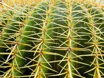 Kaktus Echinopsis Formosa stockfotos