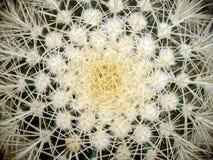 Kaktus Echinopsis Formosa stockbilder