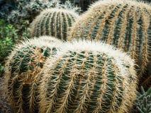 Kaktus Echinopsis Formosa lizenzfreie stockbilder