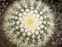 Kaktus Echinopsis Formosa lizenzfreie stockfotos
