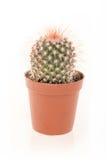Kaktus in einem Topf Stockfotografie