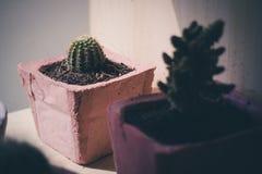 Kaktus in einem Topf Stockfotos