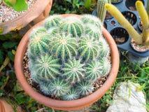 Kaktus in einem Topf, ausgewählter Fokus Lizenzfreie Stockfotografie