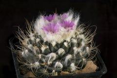 Kaktus in einem Topf lokalisiert auf einem schwarzen Hintergrund Lizenzfreie Stockfotos