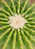 Kaktus för guld- trumma. Arkivbilder