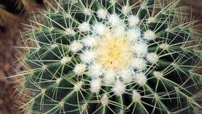 Kaktus för guld- trumma eller Echinocactus grusonii i botaniska trädgården Stäng sig upp av en rund grön cactaceae med grova spik royaltyfria foton