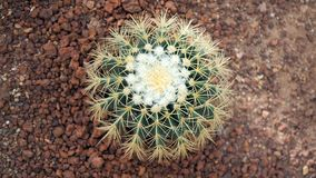 Kaktus för guld- trumma eller Echinocactus grusonii i botaniska trädgården Stäng sig upp av en rund grön cactaceae med grova spik arkivfoton