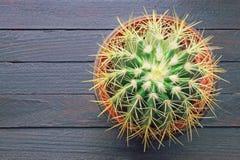 Kaktus för guld- trumma i blomkruka Lantlig bakgrund, lägger framlänges, fritt utrymme för text royaltyfri foto