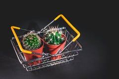Kaktus för närbild två i en dekorativ kruka på en mörk bakgrund L?g key lighting arkivbilder
