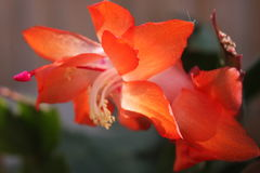 Kaktus för Schlumbergerabridgesiijul Royaltyfri Foto