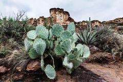 Kaktus för taggigt päron i öknen, landskap i Arizona Fotografering för Bildbyråer