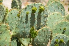 Kaktus för taggigt päron i den Havasu kanjonen Royaltyfri Foto