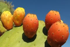 Kaktus för taggigt päron med mogen frukt Royaltyfri Foto