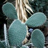 Kaktus för taggigt päron, suckulent växtbakgrund arkivfoton