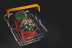 Kaktus f?r n?rbild tv? i en dekorativ kruka p? en m?rk bakgrund L?g key lighting royaltyfria bilder