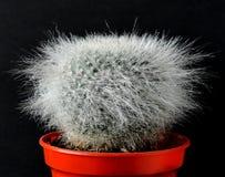 Kaktus fluffigt, hårigt och vitt royaltyfri fotografi
