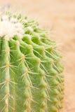 Kaktus för guld- trumma. Royaltyfri Fotografi
