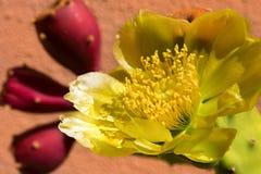 Kaktus för taggigt päron - blomma och frukter Fotografering för Bildbyråer