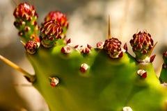 Kaktus för taggigt päron med röda blommor Royaltyfria Foton