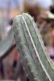Kaktus gałąź Zdjęcie Royalty Free
