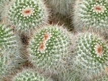 kaktus galore Arkivbild