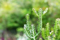 Kaktus, Grün-stacheliges Kaktus-Blatt Stockbild
