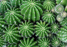kaktus green Zdjęcie Royalty Free