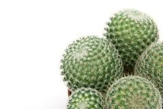kaktus green Zdjęcia Stock