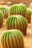 kaktus grupa Obraz Royalty Free