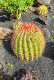 Kaktus grusonii i för den Lanzarote ön, Spanien Echinocactus Royaltyfri Foto