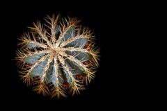 Kaktus gwiazda z jaskrawymi długimi kręgosłupami Kaktus w formularzowych płatkach śniegu, zieleń kolor, odgórny widok, czarny tło fotografia stock