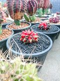 Kaktus Gymnocalycium Mihanovichii Variegata lizenzfreies stockbild