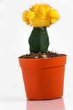 Kaktus, Gymnocalyciumgelb Stockbild