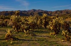 Kaktus i öken Fotografering för Bildbyråer