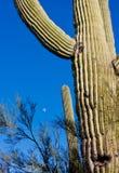 Kaktus i öken Royaltyfri Fotografi
