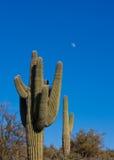 Kaktus i öken Royaltyfri Bild