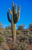 Kaktus i öken Royaltyfria Bilder