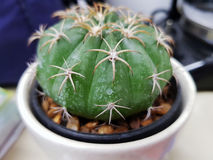 Kaktus i öken Royaltyfri Foto