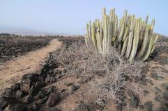 Kaktus i öknen Arkivfoton