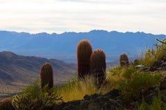 Kaktus i Arizona Arkivbild