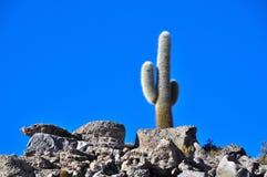 Kaktus i atacamaen Arkivbild