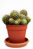 Kaktus i blomkrukan som isoleras på vit Arkivbild